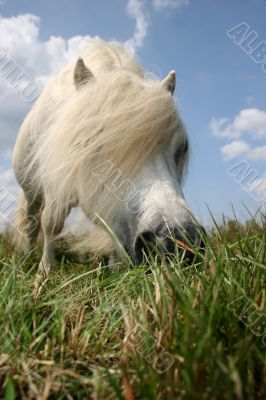 White hungry pony