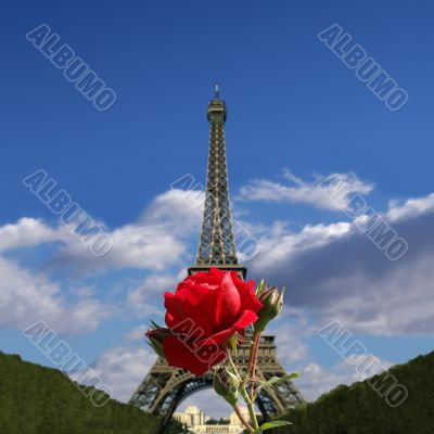 Red rose in front of the Eiffel Tower