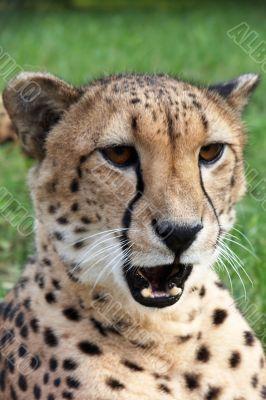 Angered cheetah
