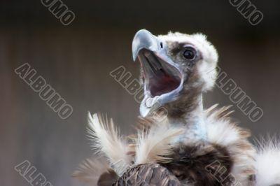 Screaming vulture