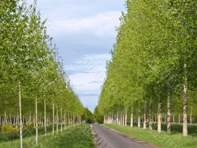 The gentle-green avenue of young trees leaving afar