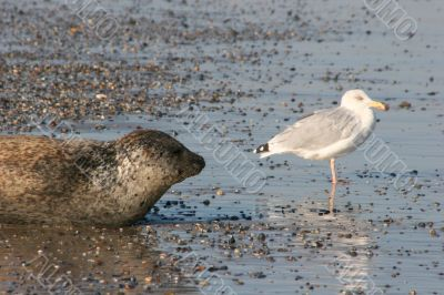 Seal and sea gull at the beach of Helgoland