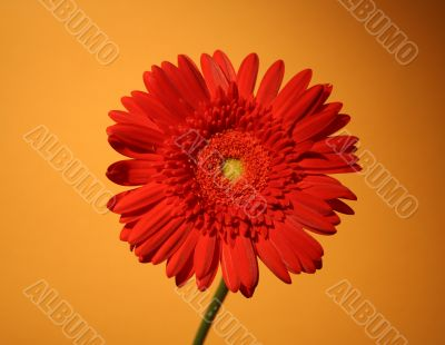 African red daisy