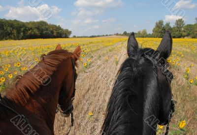 horseback riding in the sunflowers