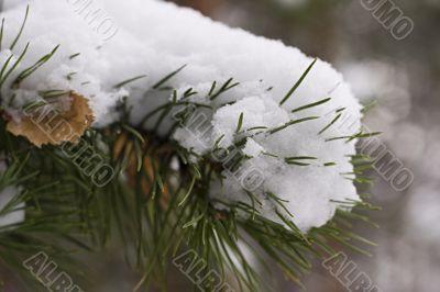 Winter fir branch in snow