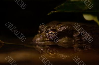 Toad in murky water