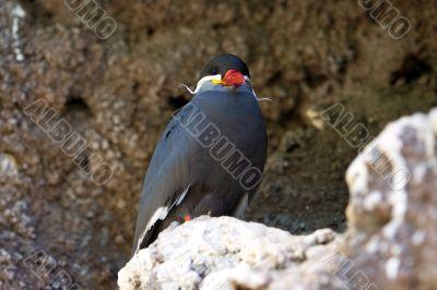 Inca Tern in a cliff