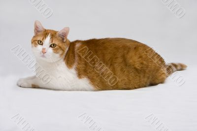 Cute fat cat