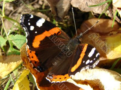 The big beautiful butterfly