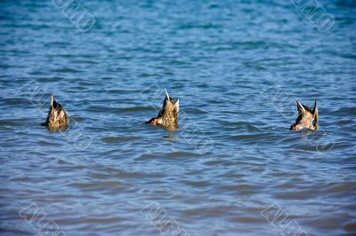 Ducks bottoms up