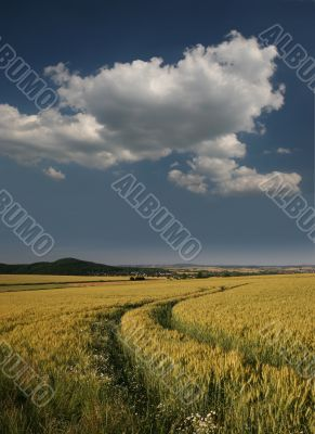 Idyllic barley field with track of tractor