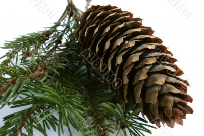 Coniferous branch and cone on a white background