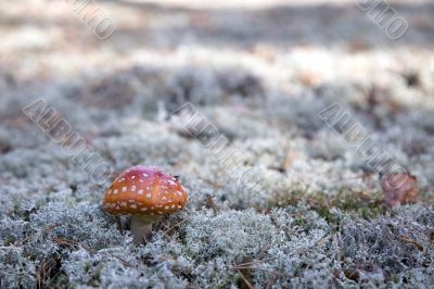 mushroom, red fly agaric (Amanita muscaria) on the blue moss.