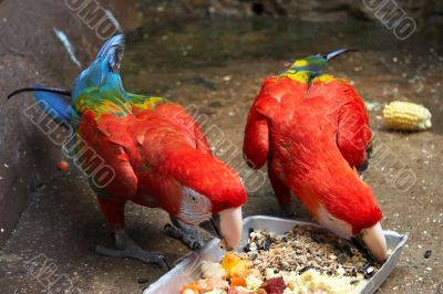 Feeding Scarlet Macaws
