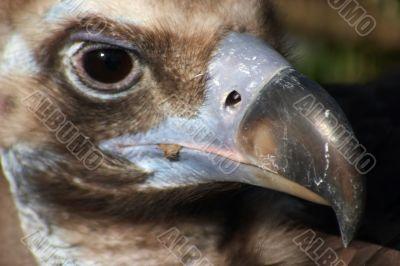 Vulture close-up