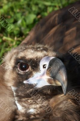 Vulture looking at you
