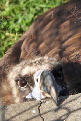 Captive vulture