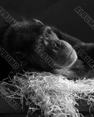 An old chimp relaxing