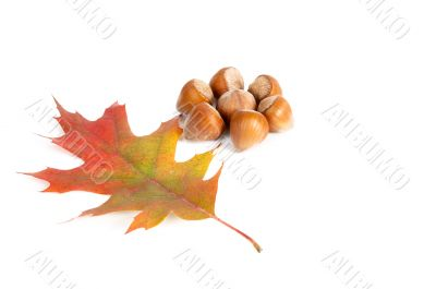 Hazel-nuts and alone leaf.