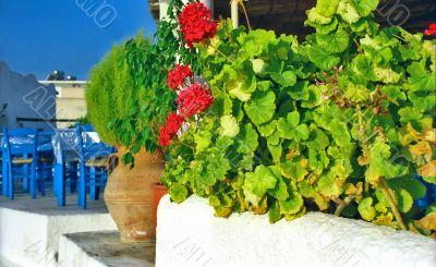 Red flowers of geranium