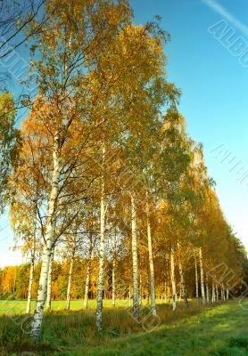 Birches alley in autumn colors