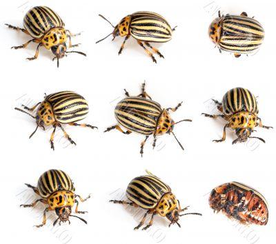 Colorado beetles
