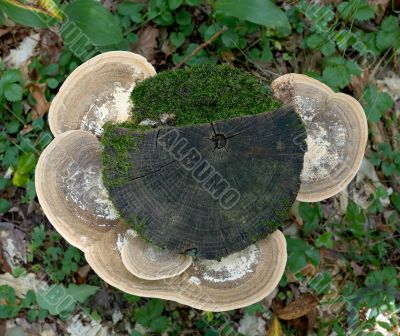 Stub with mushrooms and a moss