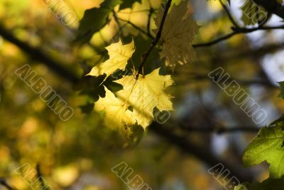 yellow leaves, shallow focus