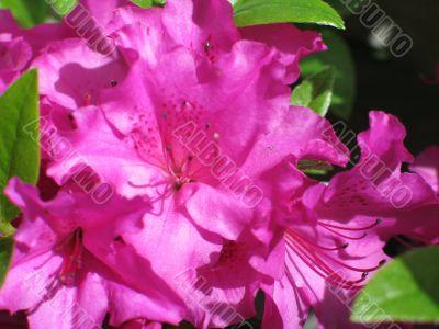 magenta rhododendron bush in bloom