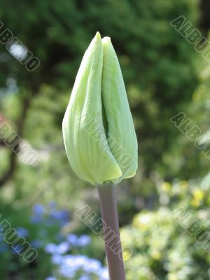 green tulip getting ready to bloom