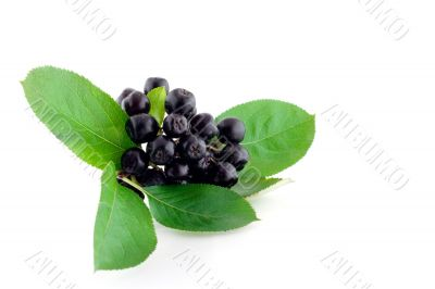 Bunch of black mountain ash on white background