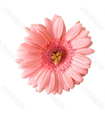 Unusual Gerbera