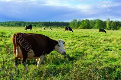 Cows surrounded by colorful fields and meadows