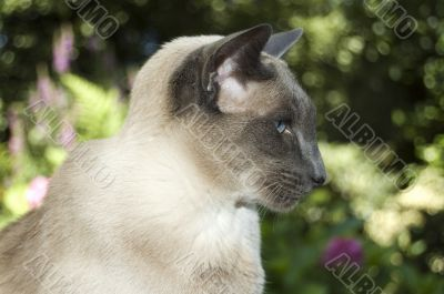 cute siamese domestic cat