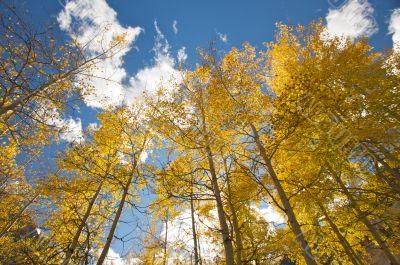 Colorful Aspen Pines