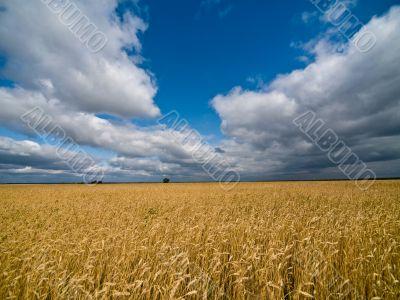 Big rye field