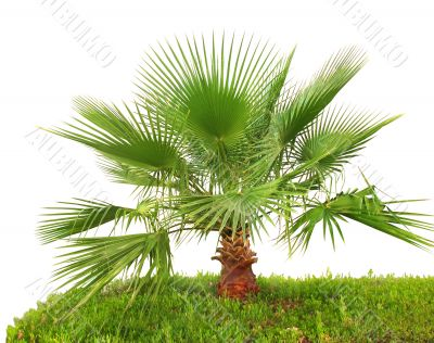 Palm tree on green grass isolated