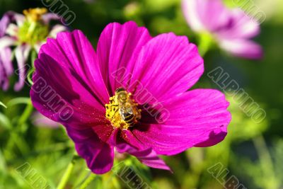 Busy Bee on a Cosmos Flower