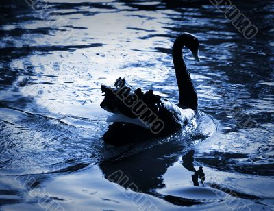 The black swan / blue tone