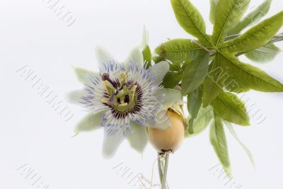 passion fruit and passionflower
