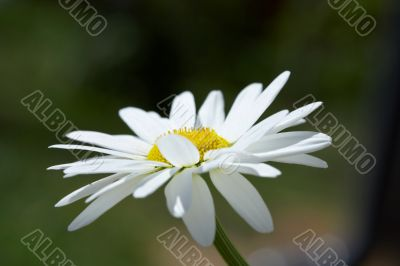 White daisy on a wind