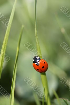 Ladybird on a blade