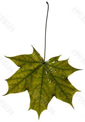 Maple leaf isolated on white