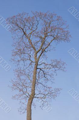 Bare tree in spring