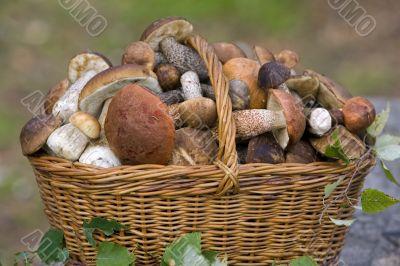basket, full of fresh autumn mushrooms.