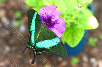 Green butterfly collecting nectar