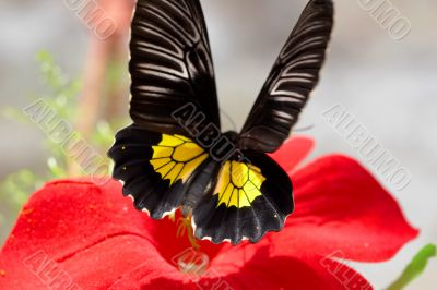 Flitting butterfly on a red flower