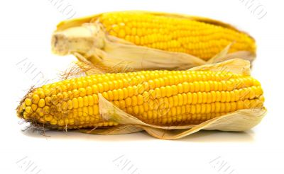 Freshly harvested corn