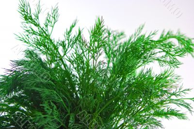 Bunch of dill
