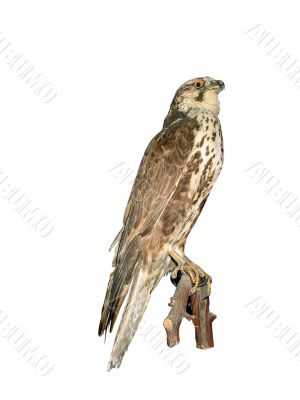 Falcon isolated over white background